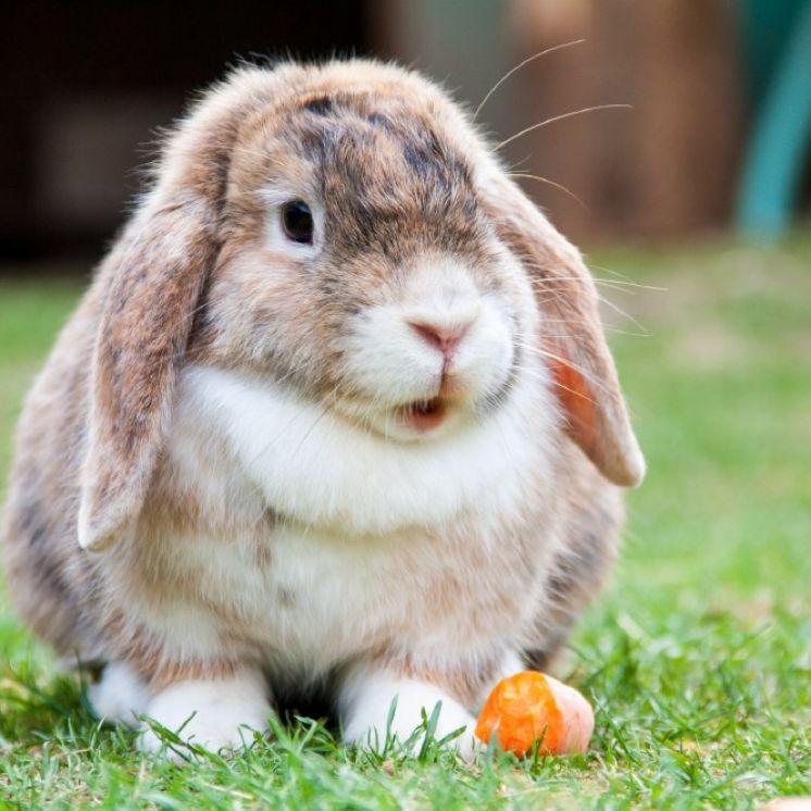 Your new rabbit